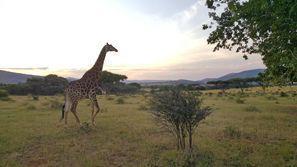 Коли под наем Рустенбург, Южна Африка